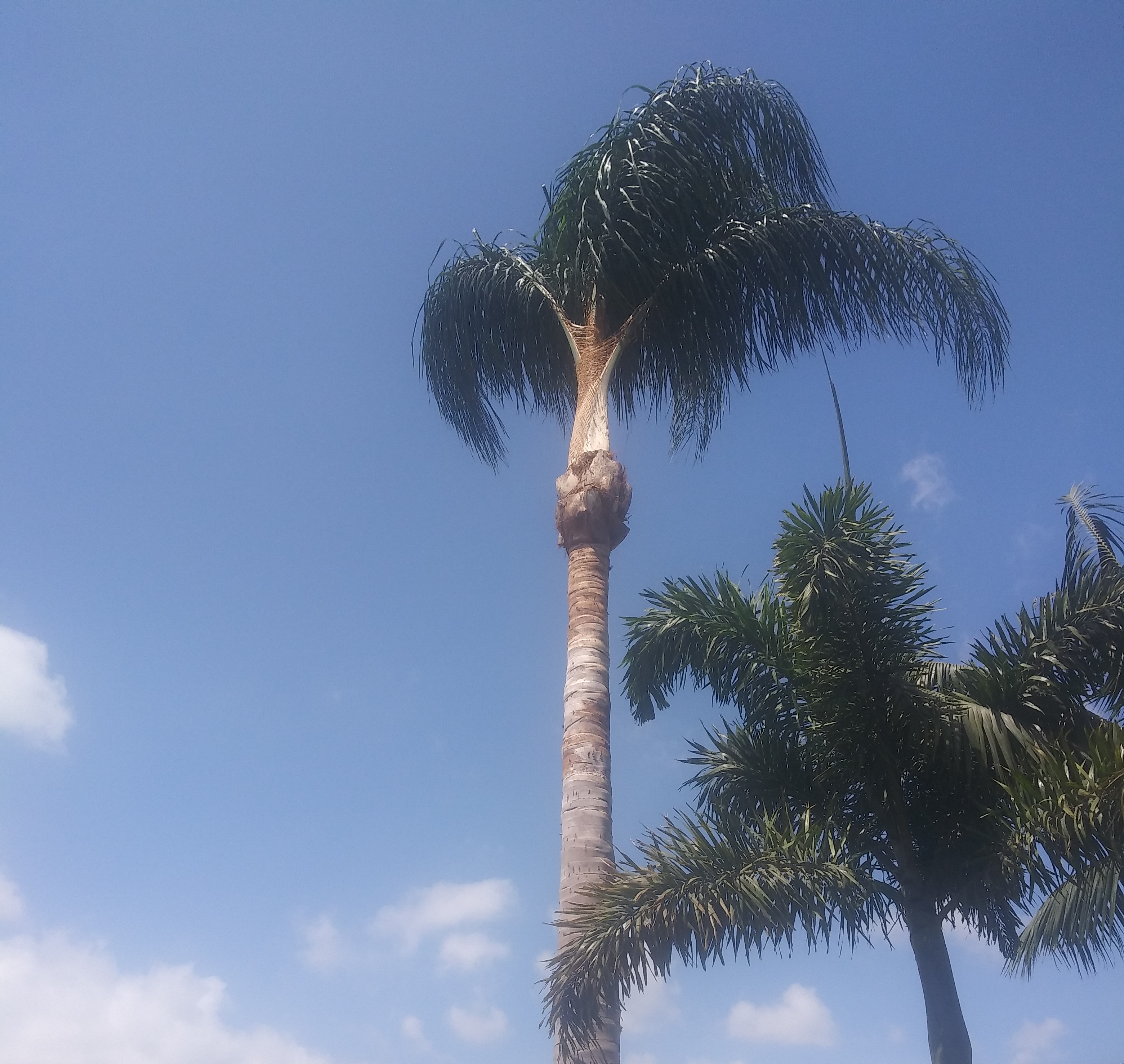 Pruning of palm trees.