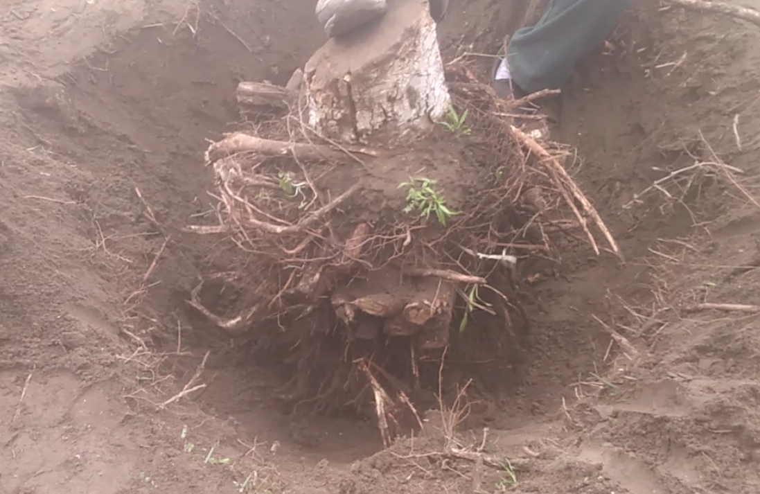 Ficus stump was removed